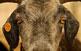 A la Fira Ramadera i d'Artesania de Rasquera la cabra blanca és molt preuada.