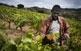 Conreus de vinya de la vall de Rials.