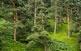 El pi roig fa entre 20 i 40 metres d'altura, com aquests exemplars dels boscos d'Arres, a la dreta de la Garona.