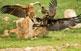 Un voltor comú i un voltor negre pugnen per gaudir d'unes restes al canyet del Boumort.