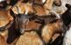 Els ramats de cabres, ovelles, vaues i poltres tenen el futur assegurat al Pallars Sobirà gràcies a l'elaboració de productes agroalimentaris.