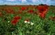 La plana d'Almenar i Alguaire és una mena d'illa elevada al nord del Segrià. Els conreus que hi predominen són de cereals i a la primavera milers de roselles els esquitxen.