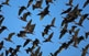 De bec llarg i corbat, el capó reial (o pòlit negre) és un ocell que visita el delta de l'Ebre, de passada, a l'hivern.