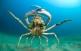 Cabra de mar (Maja squinado).