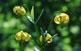 Una llirga (Lilium pyrenaicum).