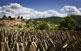 Durant els mesos d'estiu, al poble de Serrallonga és habitual trobar-se amb piles d'escorces que s'assequen al sol per a usos farmacèutics.