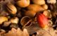 Glans de la roureda de la Rovira, coneguda localment com la roureda de Can Pascal, al terme municipal de Camprodon.