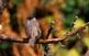 A la fageda de la Grevolosa habiten ocells com el tallarol de casquet de la foto.