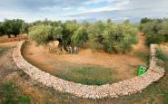 Uns exemplars d'oliveres mil·lenàries d'Ulldecona