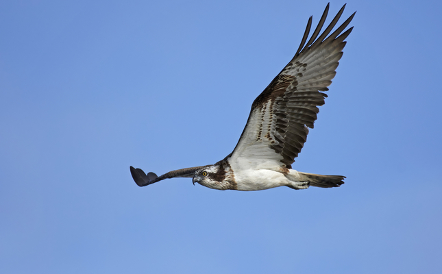 Àguila pescadora ('Pandion haliaetus')