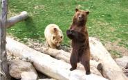 Uns exemplars d'ós bru, al Molló Parc