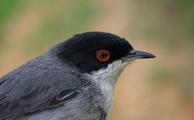 Tallarol capnegre ('Sylvia melanocephala')