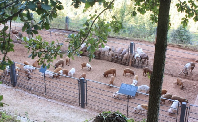 Porcs de la granja ecològica Salgot