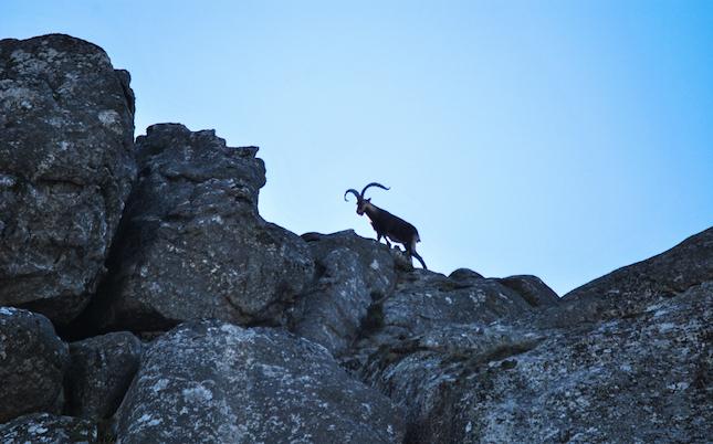 Una cabra salvatge, per les roques de Montserrat