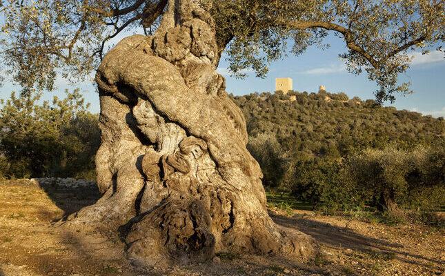oliveres mil·lenàries ulldecona