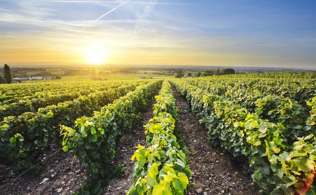 Paisatge de vinyes