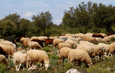 Ovelles pasturant