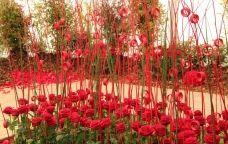 Les roses i els palaus són els protagonistes de l'Exposició Nacional de Roses a Sant Feliu de Llobregat
