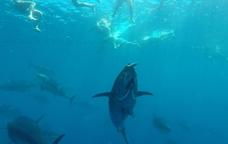 Nedant entre tonyines a l'Ametlla de Mar
