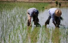 Un camp de cultiu d'arròs