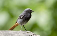 La cotxa fumada és un ocell que passa l'hivern en territori català