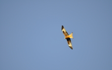 Ocells rapinayires a Bellestar
