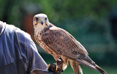 Una de les activitats de l'EquiTardor ser� l'exhibici� de vol de falcons