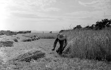 Jornalers segant el blat a mà, amb volant. Àngel Prat