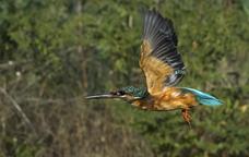 El blauet comú és una de les espècies que viuen a la riba