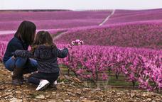 Un camp de presseguers d'Aitona, a mitjan de març