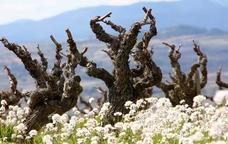 Vinyes de Llopart