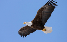 Vista d'una àguila en ple vol