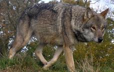 La raça 'Canis lupus lupus' és la que es troba a Europa