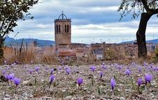 Camps de safrà als afores de Santa Coloma de Queralt