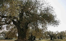 Camps d'oliveres a Sant Mateu, al Maestrat