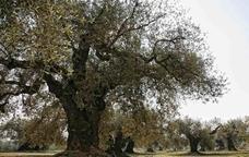 Oleoenoturisme als cellers Besalduch & Valls