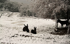 Rucs envoltats de neu