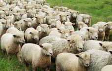 Ramat d'ovelles