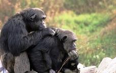 En Toni i en Charly, dos ximpanzés de la Fundació Mona