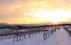 Les vinyes de Capçanes a l'hivern