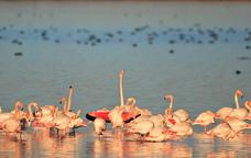 Grup de flamencs al delta de l'Ebre