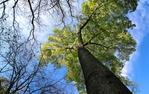 Un dels magnífics arbres que s'aixequen als parcs de l'AMB