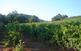 Ruta de les barraques de vinya