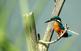 El blauet és un dels ocells que es poden observar a la reserva de Sebes