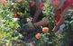 Plantada de rosers al parc de Torreblanca 2019