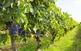 La vinya. Transformació del paisatge