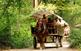 Passejades amb carruatge a la fageda d'en Jordà