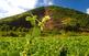 Un camp de fesols amb el volcà Croscat al fons
